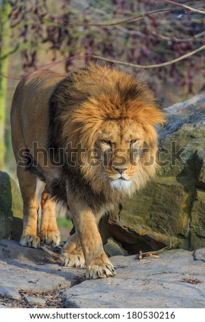 lion is coming - stock photo