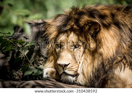 Lion king of animals - stock photo