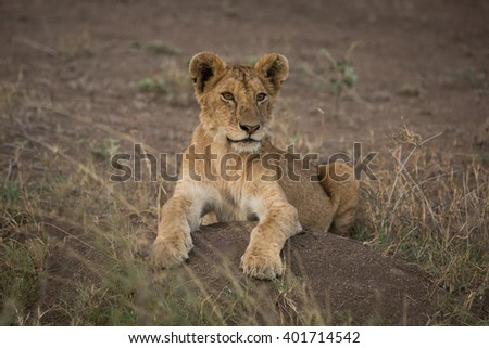 Lion laying down