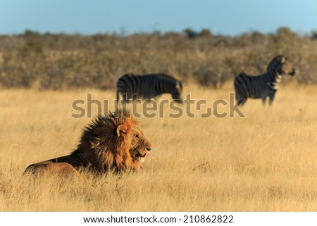Lion licking his mouth, zebras in background have no fear. - stock photo