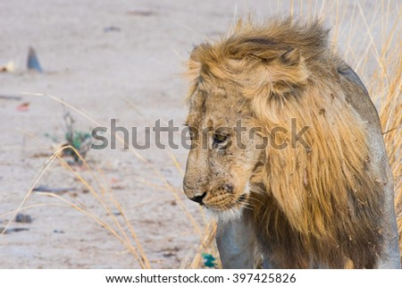 lion looking don