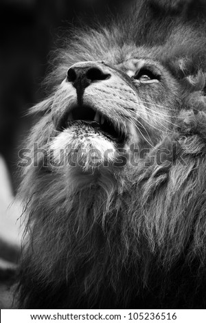 Lion looking upwards in black and white - stock photo