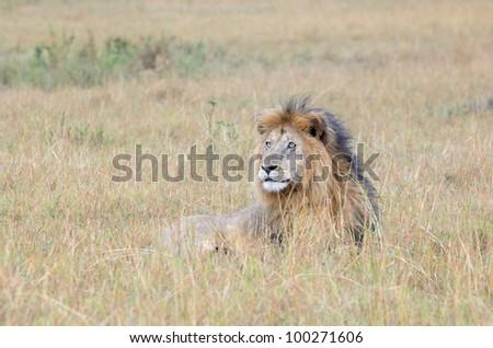 Lion lying down in Savanna - stock photo