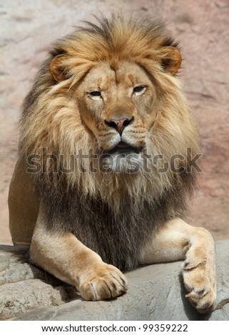 lion male - stock photo