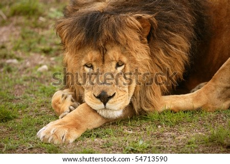 Lion male and old tired having a rest outdoor - stock photo