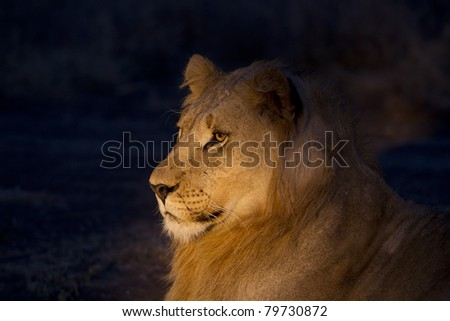 Lion male at night. Photo taken with spotlight