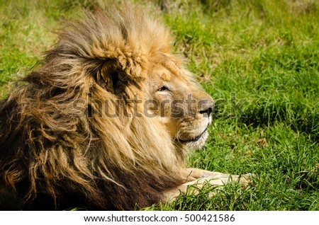 Lion male lying on grass closeup, Kruger National Park, South Africa