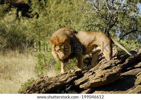 Lion - Namibia  - stock photo