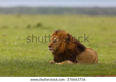 Lion Notch II in Masai Mara, Kenya - stock photo