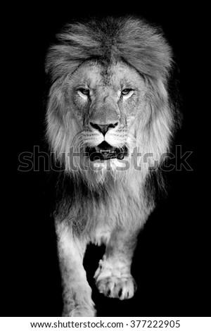 Lion On Dark Background Black White Stock Photo 377222905