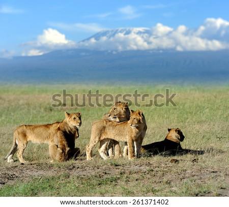 Lion on savanna landscape background and Mount Kilimanjaro - stock photo