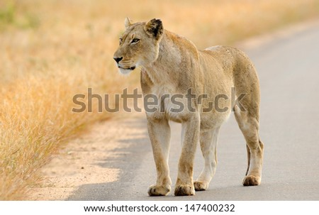 Lion on the Road, Kruger National Park, South Africa  - stock photo