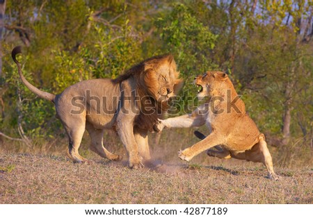 Lion (panthera leo) and lioness fighting as part of mating ritual in bushveld, South Africa