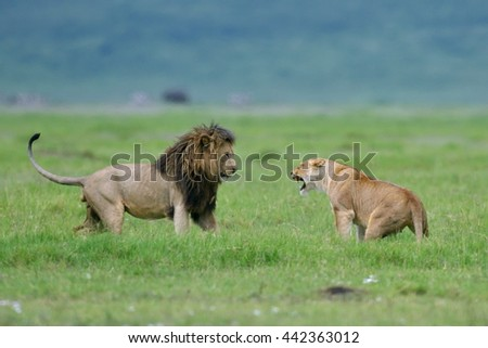 Lion (panthera leo) and lioness fighting as part of mating ritual in natural park, Tanzania, Africa - stock photo