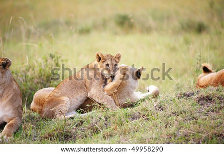 Lion (panthera leo) cub playing with his mother in a pride in savannah in South Africa - stock photo