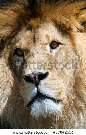 Lion (Panthera leo) detail male head - stock photo