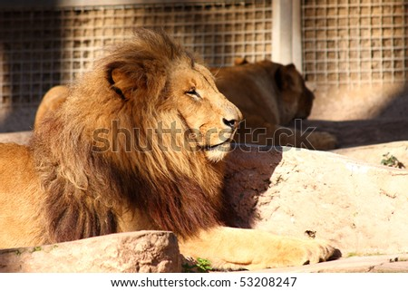 Lion (Panthera leo) in a zoo.