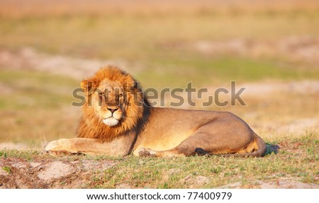 Lion (panthera leo) lying in savannah in Botswana - stock photo