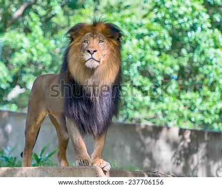 Lion (Panthera leo), Smithsonian National Zoo, Washington, D.C. - stock photo