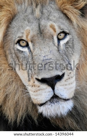 Lion (Panthera leo), taken at Kruger National Park, South Africa