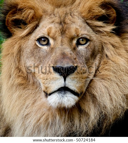 Lion portrait - stock photo
