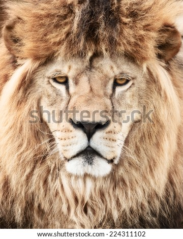 Lion power - stock photo