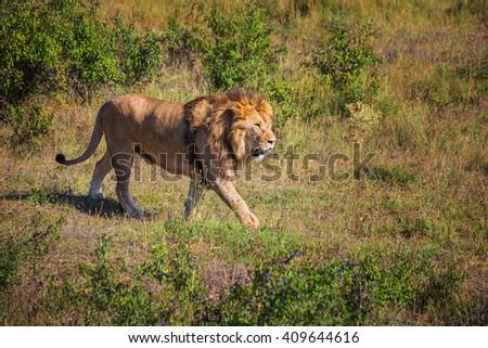 "Lion Pride in nature safari park ""Taigan"" Belogorsk Crimea - stock photo"