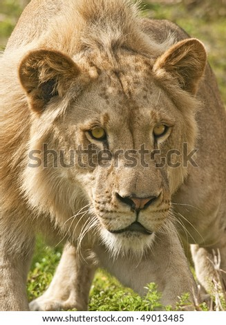 Lion Ready to Attack - stock photo