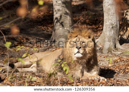 Lion resting in autumn