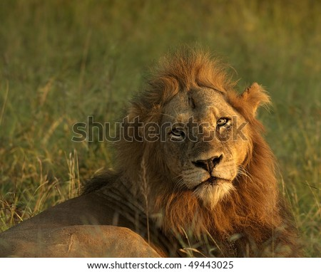 Lion resting photographed in the early morning light