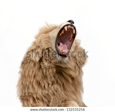 Lion Roar and Bearing Teeth isolated - stock photo