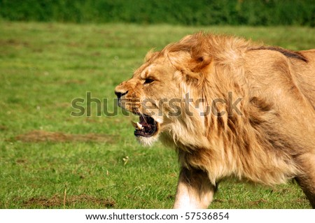 Lion Roaring 'Panthera Leo', African lion snarling.  Male lion roaring as he chases a lioness.