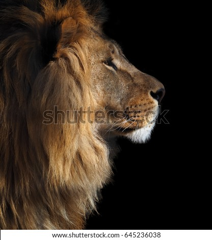Lions Profile Portrait View Right Isolated Stock Photo ...