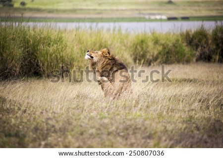 Lion scratching, Young adult male lion lying on savanna in grass. Safari in Serengeti, Tanzania, Africa  - stock photo