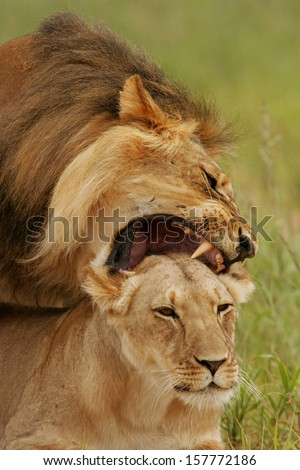 lion sex portrait