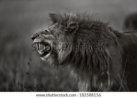 Lion snarling in Masai Mara, Kenya - stock photo