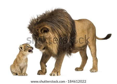 Lion standing and looking a lion cub - stock photo