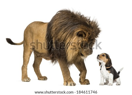 Lion standing and looking at a beagle puppy - stock photo