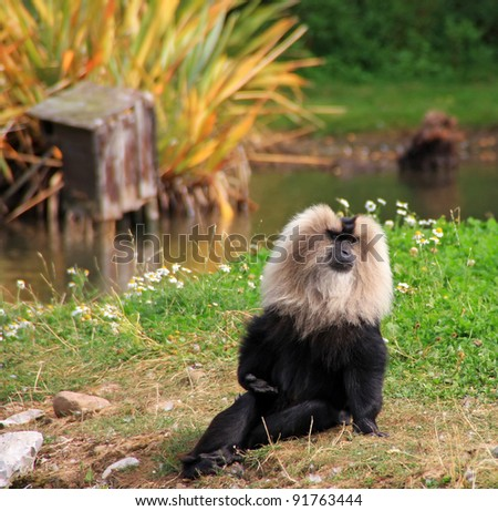 Lion tailed macaque monkey in wildlife park - stock photo