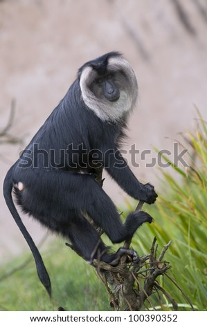 Lion-Tailed Macaque On A Branch