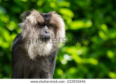 lion-tailed macaque Portrait. Its also known as wanderoo, bartaffe, beard ape and macaca silenus. - stock photo