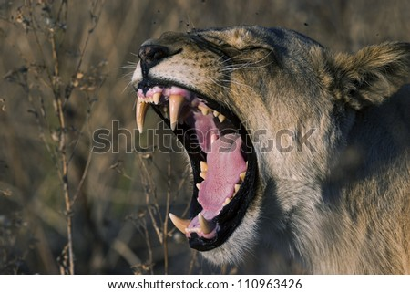 Lion teeth