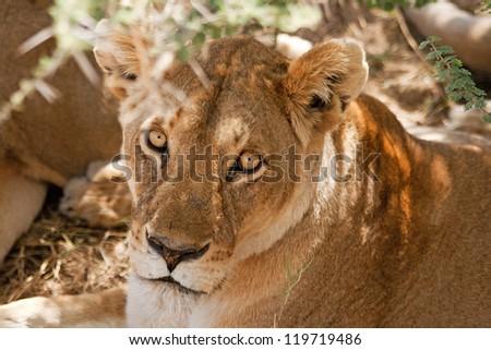 Lion under the tree - stock photo