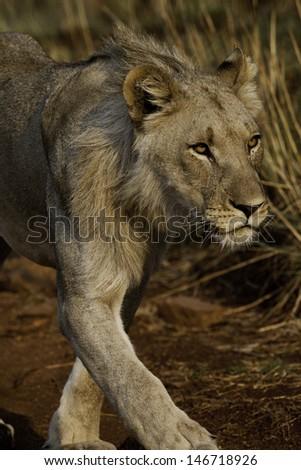 Lion Walking - stock photo