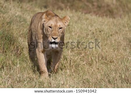 Lion walking in grass  - stock photo