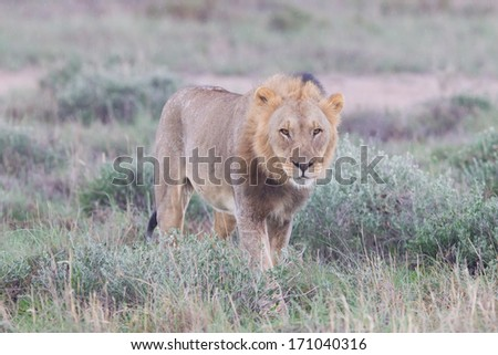 Lion walking on the rainy plains of Etosha, Namibia
