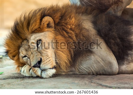 Lion was lying on the ground. - stock photo