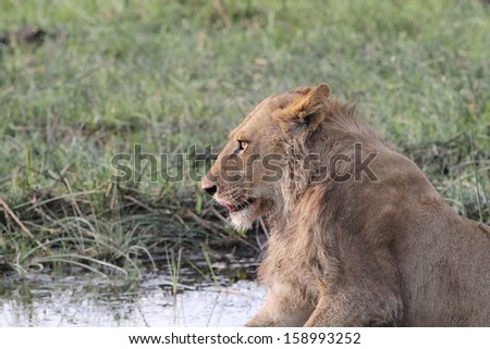Lion watching - stock photo