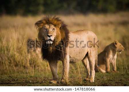 Lion with family - stock photo