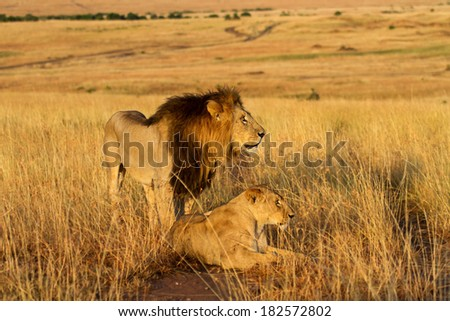 Lion with his Lioness during mating time in Masai Mara, Kenya